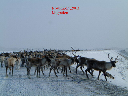 caribou hunting winter